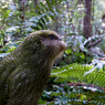 Paul Nevin Kakapo and Takahe travel Kakapo