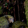 Paul Nevin Kakapo and Takahe travel Two Kakapo