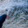 Paul Nevin Kakapo and Takahe travel frosty morning Takahe