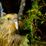 Paul Nevin Kakapo and Takahe travel new arrivals kakapo