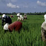 Paul Nevin Kerala Photo Farming rice