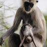 Paul Nevin Sri Lanka Photo Grey Langur mother