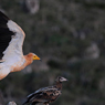 Paul Nevin Socotra Island travel Egyptian vultures